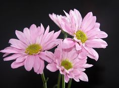 Daisy Mums...Sweet, simple, easy to work with, and fits with even the most elegant and tropical arrangements.
