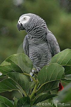 Wild African Grey parrot