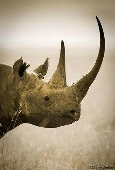 Did you know that there are five different species of rhinoceros? Apart from the two species native to Africa the famous Black Rhinoceros, White Nature Animals, Animals And Pets, Cute Animals, Exotic Animals, Wild Animals, Rhino Species, Endangered Species, African Animals, African Rhino