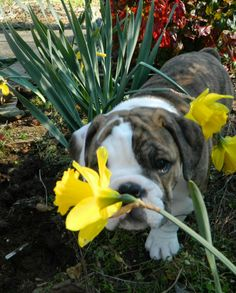 Happy First Day of Spring! Bulldog Love!