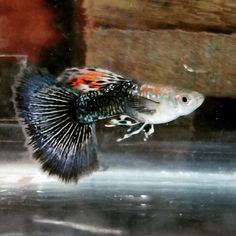 Guppy Sae: Guppy Dragon Rasa Cobra