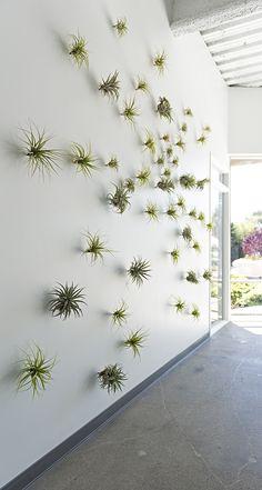 vertical garden of tillandsia air plants