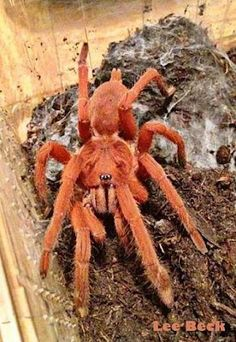 Orphnaecus Philippinus Tarantula, one of Philippines local tarantula. Pet Tarantula, Spiders And Snakes, Bed Bug Bites, Itsy Bitsy Spider, Baboon, Bugs And Insects, Weird Creatures, Reptiles And Amphibians, Exotic Pets
