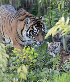 Three of the world's rarest tiger cubs have made their public debut at London Zoo. : want to go see these soo much ! Cute Baby Animals, Animals And Pets, Wild Animals, White Tiger Cubs, White Lions, White Tigers, Wildlife Photography, Animal Photography, Cubs Wallpaper