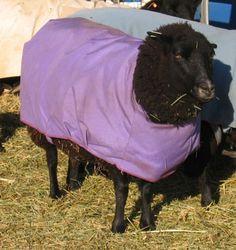 making Sheep Coats