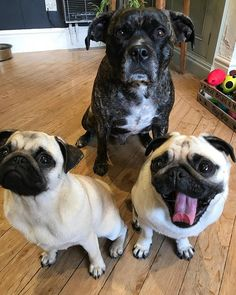 .. morning folks here's a little throwback to the time when I was trying to teach Brenda & Brian the art of tongue out .. as you can see they wasn't taking any notice says Mabel.. .. #tot #tongueouttuesday #pug #pugs #dog #dogs #mops #carlino #worldofpug #worldofcutepugs #pugsofinstagram #dogsofinstagram #dogsofinsta #dogsofinstaworld #dogsandpals #pugloversclub #flatnosedogsociety #puglove #smilingpugs #pugbasement #feature_do2 #TheTomCoteShow #pugfashions #sendadogphoto #cute #staffy…