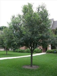Live Oak: have this one in front lawn