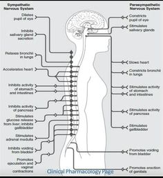 Actions of the sympathetic and parasympathetic nervous systems