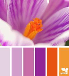 Crocus colour