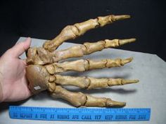 Cave Bear Hand Name: Ursus spelaeus (Cave Bear) Age: Pleistocene - 100,000 yrs Location: Romania Front Foot - Legally collected from cave lo...