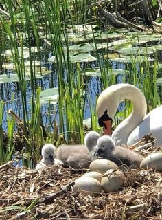 Lovely Swan in her nest with eggs and hatched cygnets Pretty Birds, Beautiful Birds, Animals Beautiful, Animals And Pets, Baby Animals, Cute Animals, Cygnus Olor, Photo Animaliere, Pond Life