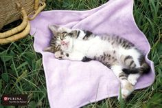 いい夢見てるニャ~/猫 ネコ cats  (Nestle PURINA ネスレ日本)