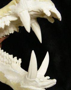 Boar teeth