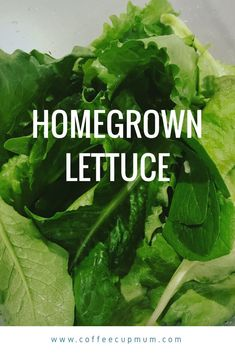 Simple way to grow and harvest lettuce from your own garden