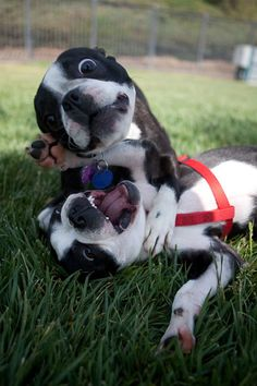 We love to play fight...did you know we were first bred to be a fighting breed? This is our crazy eye look!