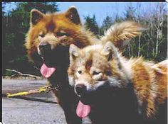 Sled Dog Central - The Canadian Eskimo Dog