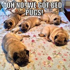 Haha, bed-pugs!