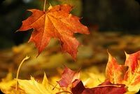 Fall autumn email backgrounds. Falling Red Leaf - Happy Autumn