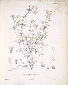 60433 Viviania elegans (Poeppig) Reiche & Johow [as Cissarobryon elegans Poeppig]  / Gay, C., Historia fysica y politica de Chile, Botanica [Flora Chilena], Atlas, vol. 1: t. 13 (1854) [A. Riocreux]