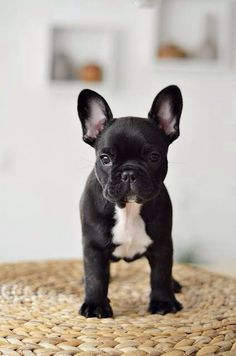 Obsessed with French bull dogs