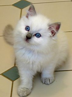 A cute little (and ultra rare) Lilac Point Colorpoint Ragdoll kitten. Wow.