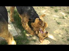 Airedale terrierek és Welsh terrier - YouTube