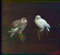 Ural Owls. 1910 From the Collection of N.P. Alin in Cherdyn, Photograph by Sergey Mikhaylovich Prokudin-Gorsky <><><><...