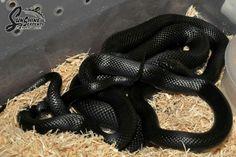 Mexican Black King Snake - Sunshine Serpants