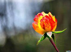 """""""Forse perchè sono stato povero, da me non c'erano fiori.  La prima a portarmene è stata Bella. Poi, in Francia...  Si può riflettere e pensare a lungo sul senso dei fiori,  ma per me sono la vita stessa nella sua smagliante felicità"""" Marc Chagall"""