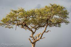 Leopards with killed Impala in the Tree. | Masai Mara. | Kenya. |Complete Story:http://www.ingogerlach.com/leoparden