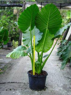 Alocasia calidora • toise jaune = 91cm.