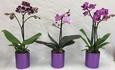 Mini Orchids in Metallic Pot is a best seller at Micky's Minis. Orchid placed in a stylish metallic pot it really brings out the color in the petals. Wallpaper Nature Flowers, Bonsai, Plants, Pot, Flora, Flowers, Planter Pots, Orchids, Exterior