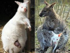 EN-WALLABY-01.jpg....the white mama has a gray baby & the gray mama has the white baby!