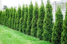 plants for privacy fence in ct