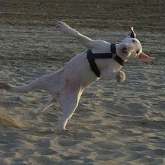 Bull Terriers will do anything for a laugh!! Quite the comedian!!! What a guy!!