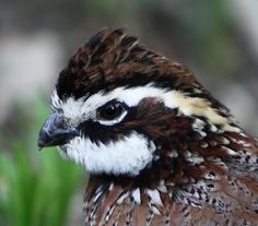 """Bobwhite Quail. In West Virginia, Dad used to point out the male bird's call which sounds exactly like """"bob white""""."""
