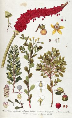 Botanical illustration from Biodiversity Heritage Library