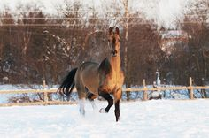 Geli stud farm - stallion Dagat-Geli