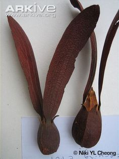 Dipterocarpus dyeri dried seed pods, approximately 18 cm long