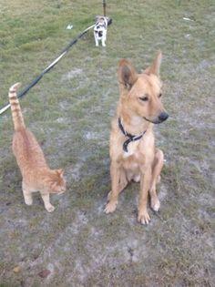 Rafiki geboren april 2012 is geadopteerd toen hij nog een pup was door een Nederlands gezin in Egypte. Dit gezin ging verhuizen naar Dubai en Rafiki kon niet mee. Rafiki verstaat Nederlands en is dol op kinderen. Hij is naast kinderen ook een hond en een kat in huis gewend en is dus een prima gezinshond! Rafiki is een lieve reu die graag wil wandelen en spelen. Rafiki is gecastreerd. Klik op de foto voor meer info.