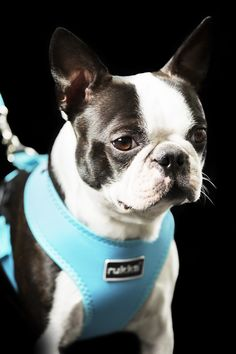 Rukka collars, leashes and harnesses Collar And Leash, Collars, Comfortable Fashion, Doggies, Boston Terrier, Spring Summer, Pets, Animals, Style
