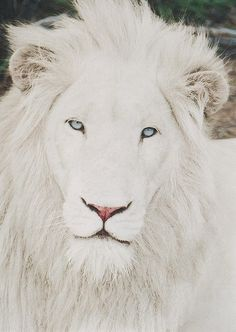 Look at those eyes! I thought this was an albino lion, but it is a White Lion. Rare Animals, Unique Animals, Animals And Pets, Wild Animals, Extinct Animals, Beautiful Cats, Animals Beautiful, Pretty Animals, Stunningly Beautiful