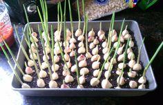 Stop Buying Garlic. Here's How To Grow An Endless Supply Of Garlic Right At Home - Healthy - Modern Design Container Gardening Vegetables, Vegetable Garden, Growing Vegetables, Growing Plants, Planter Ail, Organic Gardening, Gardening Tips, Gemüseanbau In Kübeln, Planting Garlic