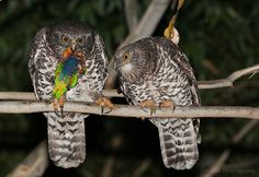 Very sick, weak or injured Owl's are more likely to get eaten.