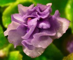 Moonlight Kisses Semi-Miniature African Violet Flower