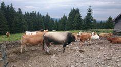 Kein Wunder, dass es hier so viele Kälber gibt. ;-) Cow, Animals, Summer, Animales, Animaux, Animal, Animais