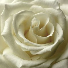 White Roses – Roses | White Roses Bouquet | Buy White Roses | White Roses Bridal Bouquet | Wholesale Roses at BunchesDirect