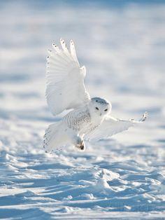 USA, Minnesota, Vermillion. Snowy Owl Landing on Snow Photographic Print by Bernard Friel at AllPosters.com