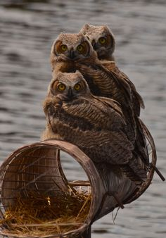 """Owlets, by Eugene Beckes on Flickr. """"Yo-Ho-Ho, and a barrel of Owls ... Great Horned, that is. I was surprised to see these three youngsters perched on the nesting platform made for Canada Geese."""""""