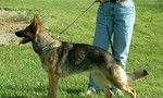 http://www.examiner.com/german-shepherd-in-akron/adding-a-gsd-to-your-family-puppy-vs-adult    Thinking about adding a German Shepherd to your family?  Should you consider a puppy or an adult?  Check out this article to learn more!